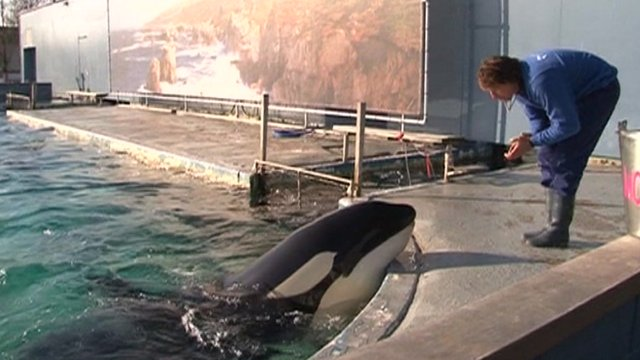 Morgan the killer whale with keeper