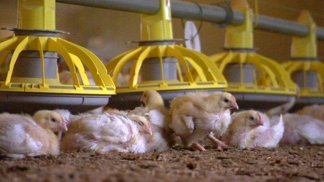 Chicks in a farm