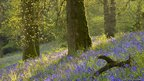 Bluebells in a wood, Batcombe, Dorset, England