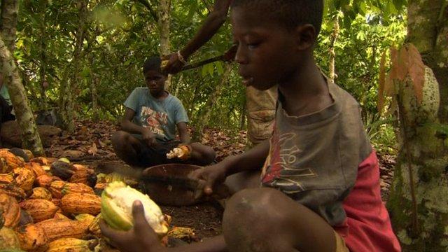 Children cutting cocoa pods