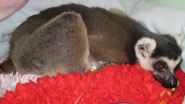 The ring-tailed lemur found in south-west London