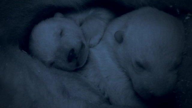 Newborn polar bear cubs