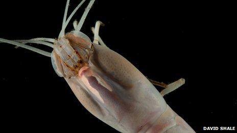 Shrimp (David Shale)