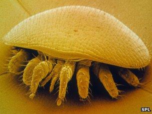 A varroa mite