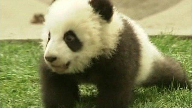 Giant panda cub.