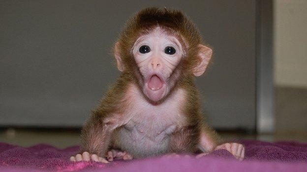 Roku, Hybrid rhesus monkey
