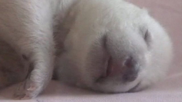 Baby polar bear cub in China