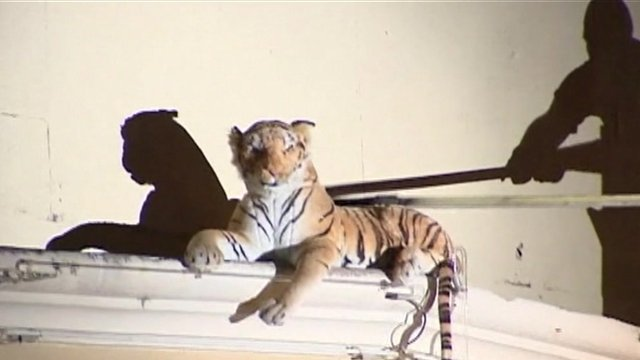 Stuffed tiger toy being rescued
