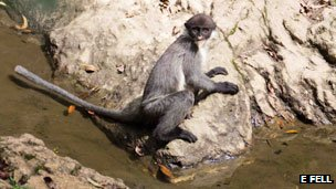 A Miller's grizzled langur rests by the river. Picture by E Fell