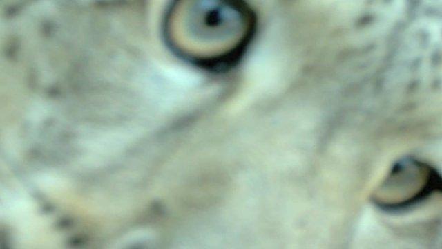 Snow leopard (Panthera/FFI)