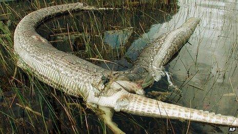 Burmese python and alligator