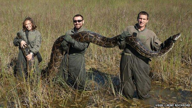 Burmese python caught in the Everglades USGS