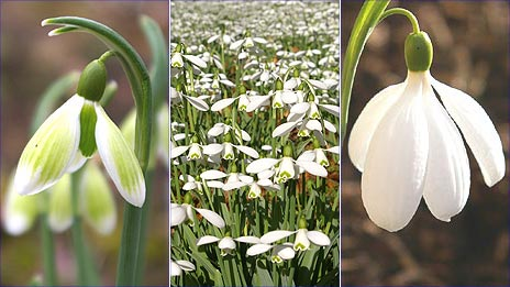 A galanthus 'Green Tear', galanthus 'S Arnott' and galanthus 'E A Bowles'
