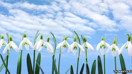 Bbc News Snowdrop Fanciers And Their Mania