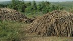 Piles of chopped wood about to be set alight to make charcoal, Liberia  (Photo Tamasin Ford)