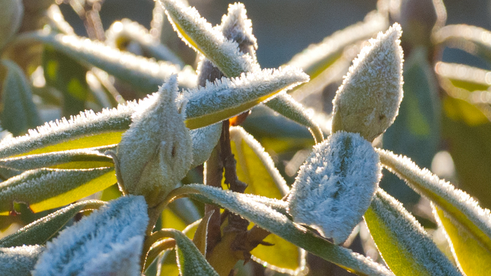 Frost on rhododendrons