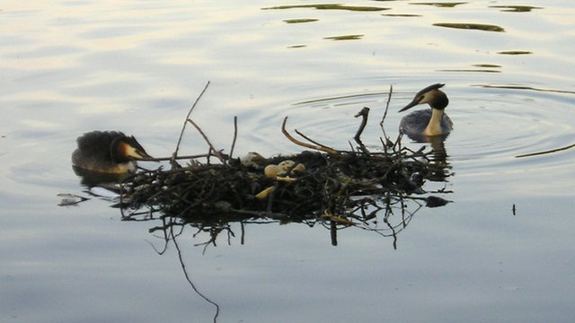Grebes' nest in Roath Park late - photo by Nick Steele