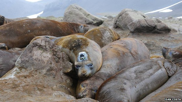 Tagged elephant seal