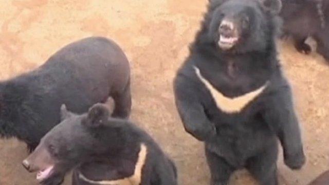 Chinese moon bears