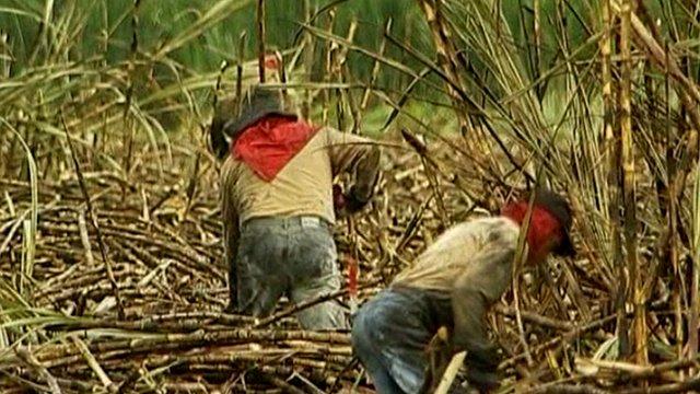 Sugar cane plantation in Colombia