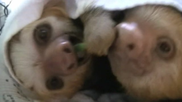 Costa Rican sloths in documentary Meet the Sloths