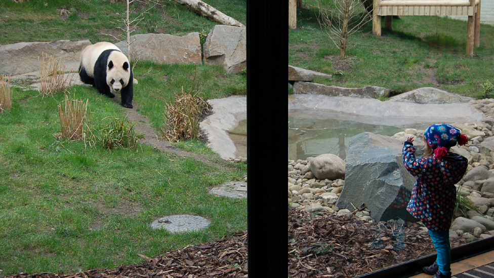 Greta waves at panda Tian Tian in Edinburgh Zoo