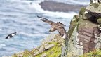 Great skua chasing a razorbill. Pic: Scottish Wildlife Trust