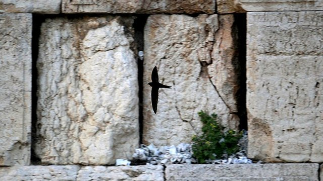 Swifts flying by the Wailing Wall