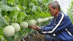 Farmer Suzuki tending melon crop