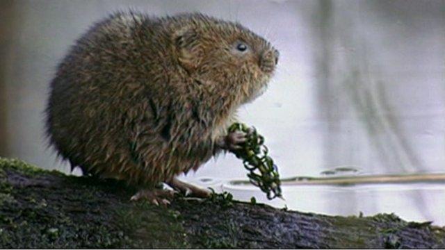 A water vole