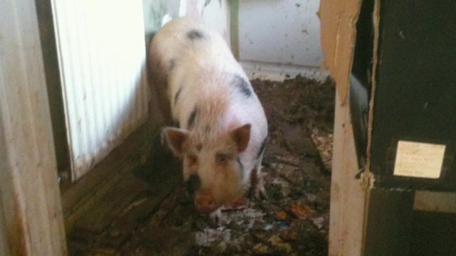 The Gloucester Old Spot pig was kept in the house for a year
