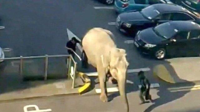 Elephant walks through car park in Cork