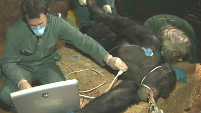 Chimpanzee under anaesthetic with vets