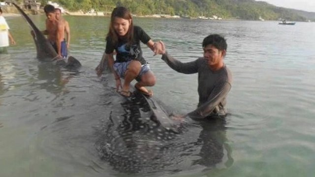 Girl tries to stand on whale shark
