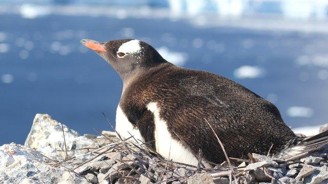 Gentoo penguin (Ben Collen)