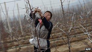 A North Korean woman works on an apple farm near Pyongyang on April 10, 2012