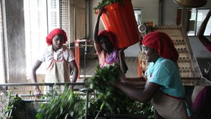 Tea can be produced in just 24 hours
