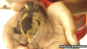 The baby chick, which hatched inside its mother's body (image courtesy Manula Kumarage)