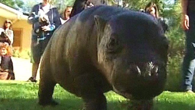 Harry, the princely hippo
