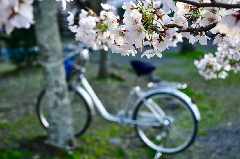 Cherry blossom and a bicycle in the background