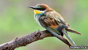 Common European bee-eater (file picture)