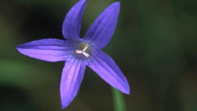 blodyn (pic:Bob Gibbons/Plantlife)