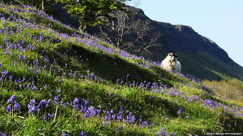 Bbc News In Pictures Bluebells Carpet Northern Ireland