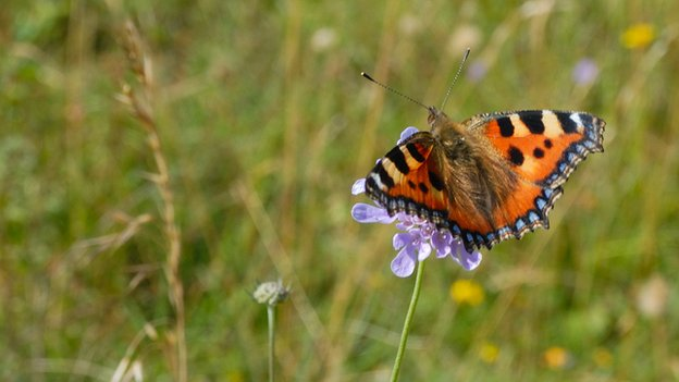 Small tortoiseshell (c) Jim Asher/ Butterfly Conservation