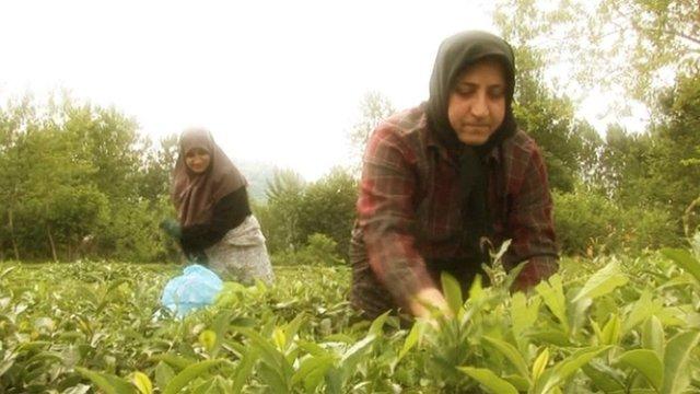 Iranian tea farmers