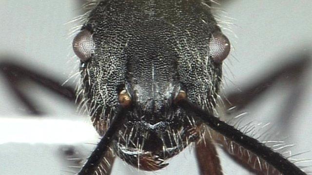 Head of ant