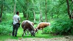 Ranger feeds cattle in Sherwood Forest