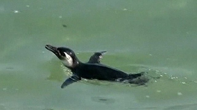 Stranded penguins undergo rehab in Rio