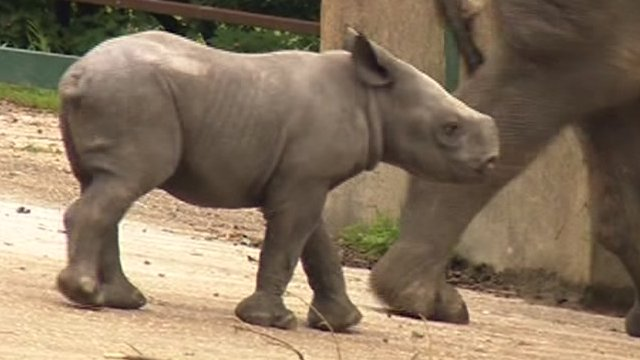 Black rhino calf born at Port Lympne wild animal park, Kent