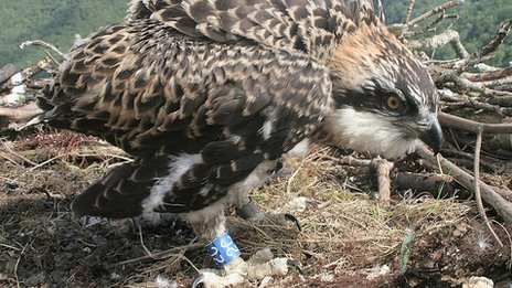 The male chick has been ringed on its right leg with a blue ring marked 2C